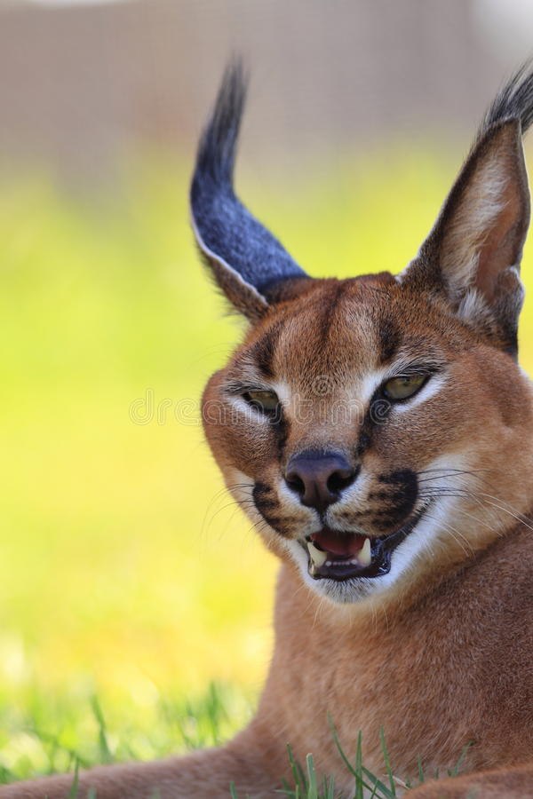 Download Caracal head stock photo. Image of beautiful, closeup - 18742624