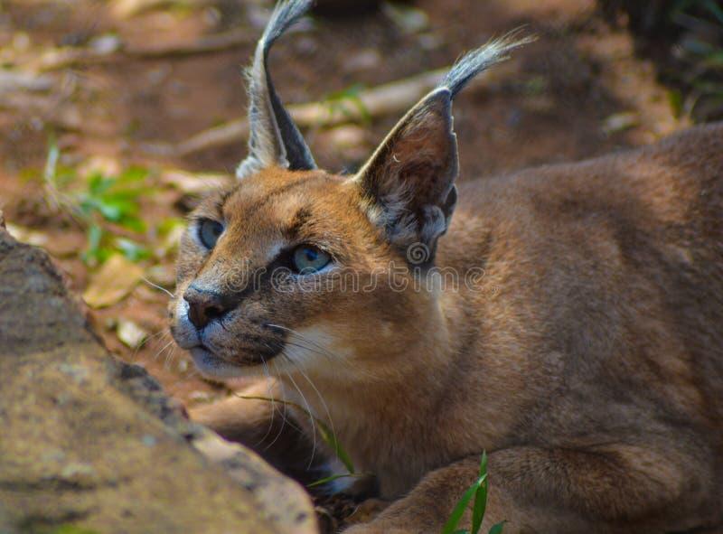 Caracal igualmente sabe como o gato dourado africano fotos de stock