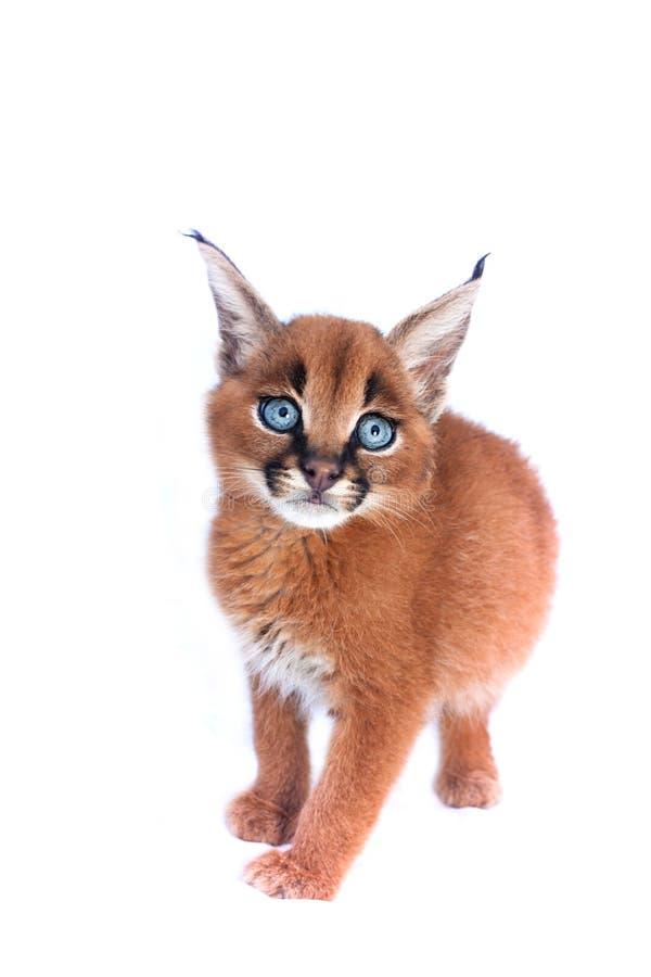 Caracal-Kätzchen stockfotografie