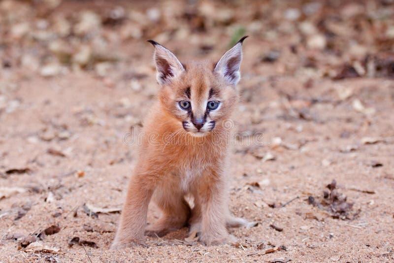 Caracal-Kätzchen, Südafrika lizenzfreies stockbild