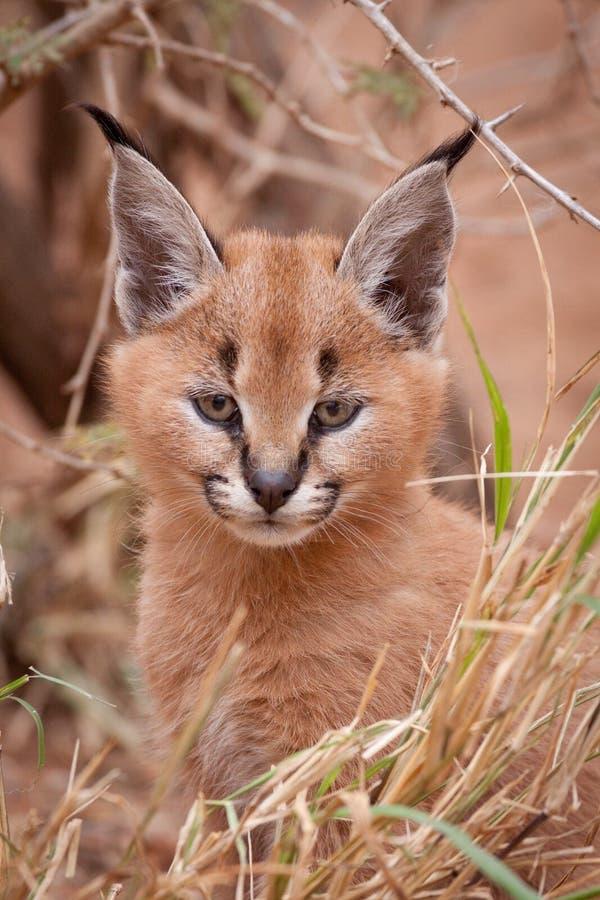 Caracal-Kätzchen, Südafrika lizenzfreie stockfotos