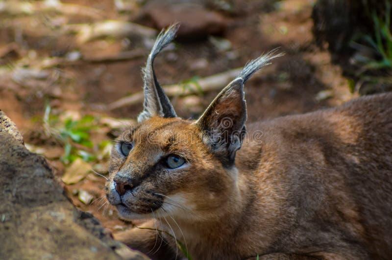 Caracal kent ook als Afrikaanse gouden Kat stock afbeelding