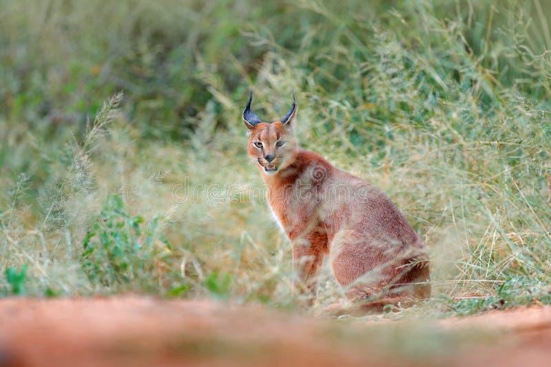 Caracal, lince africano, escondido na vegetação da grama verde Gato selvagem bonito no habitat da natureza, Botswana, África do S imagens de stock