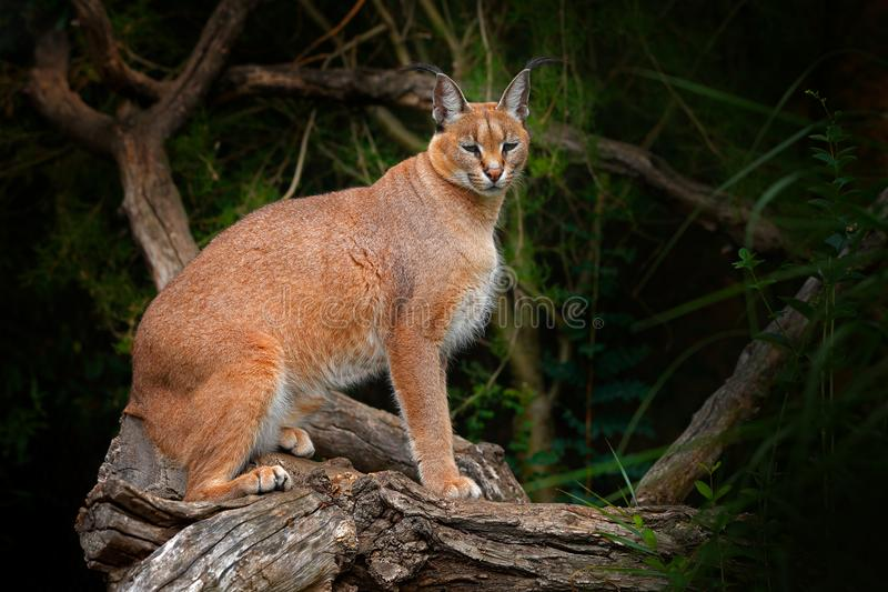 Caracal, lince africano, na vegeta??o da ?rvore Gato selvagem bonito no habitat da natureza, Botswana, ?frica do Sul Cena dos ani fotografia de stock