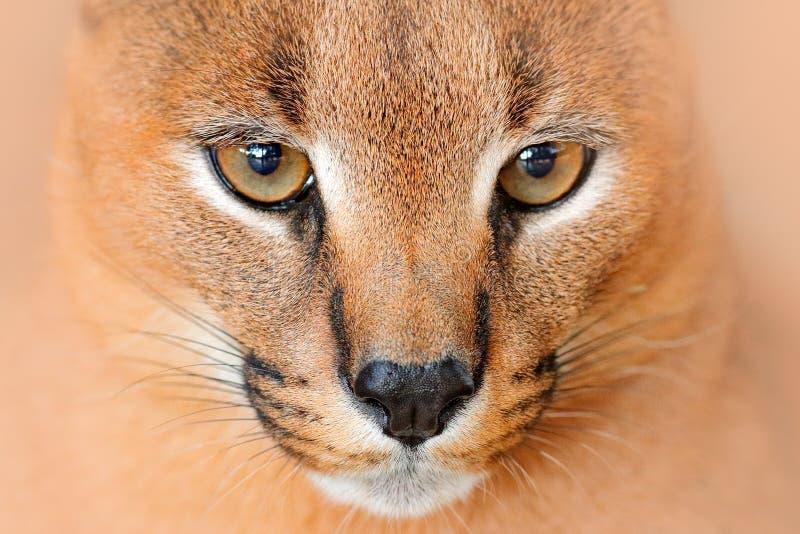 Caracal, lince africano, na vegetação da grama verde Gato selvagem bonito no habitat da natureza, Botswana, África do Sul Cara an fotos de stock