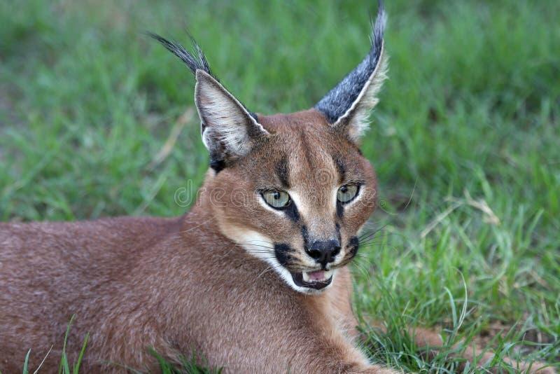 Caracal or Lynx Portrait