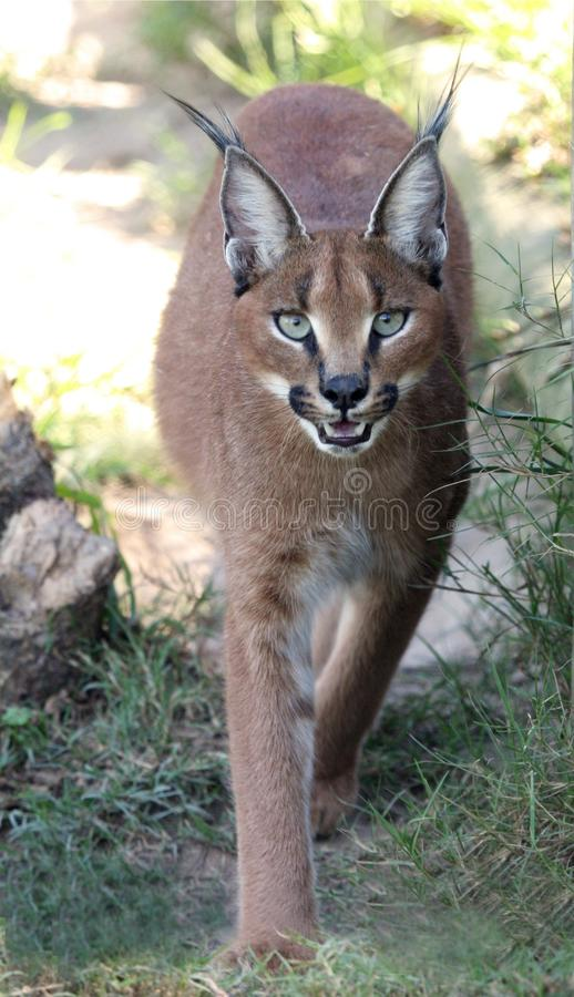 Download Caracal or Lynx Portrait stock photo. Image of tongue - 14026926