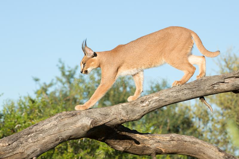 Caracal, Südafrika, gehend auf einen Baumast lizenzfreies stockfoto