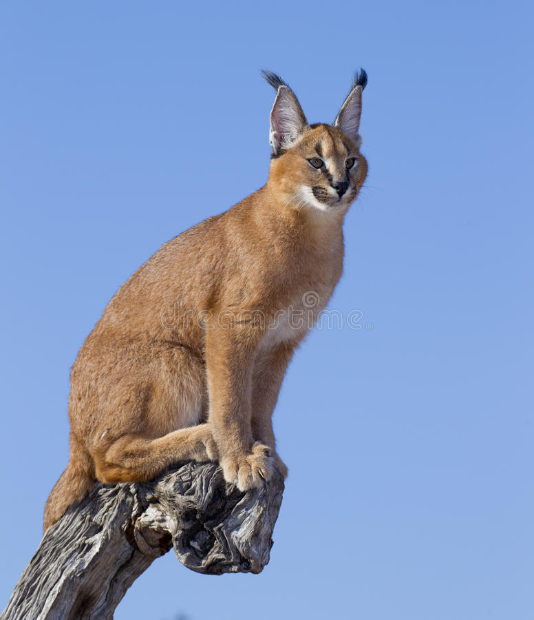 Download Caracal, South Africa stock image. Image of african, caracal - 24483945