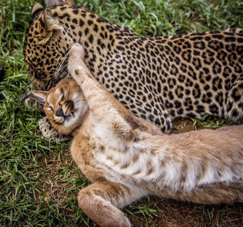 Caracal y gato de leopardo imagenes de archivo