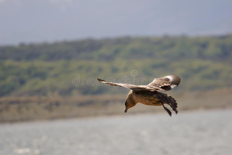 Caracara chimango flyng on Beagle Channel near Ushuaia stock photo