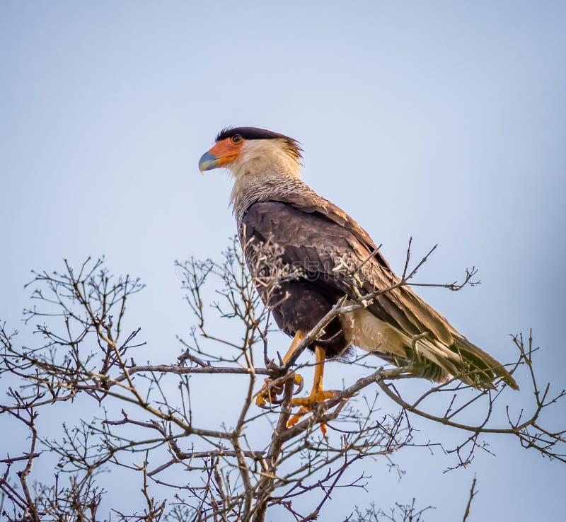 Caracara com crista do sul em Pantanal, Brasil fotografia de stock royalty free
