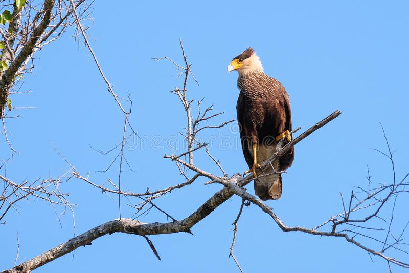 Caracara do sul, Caracara Plancus, empoleirando-se em um ramo na floresta, Mato Grosso, Pantanal, Brasil fotos de stock royalty free