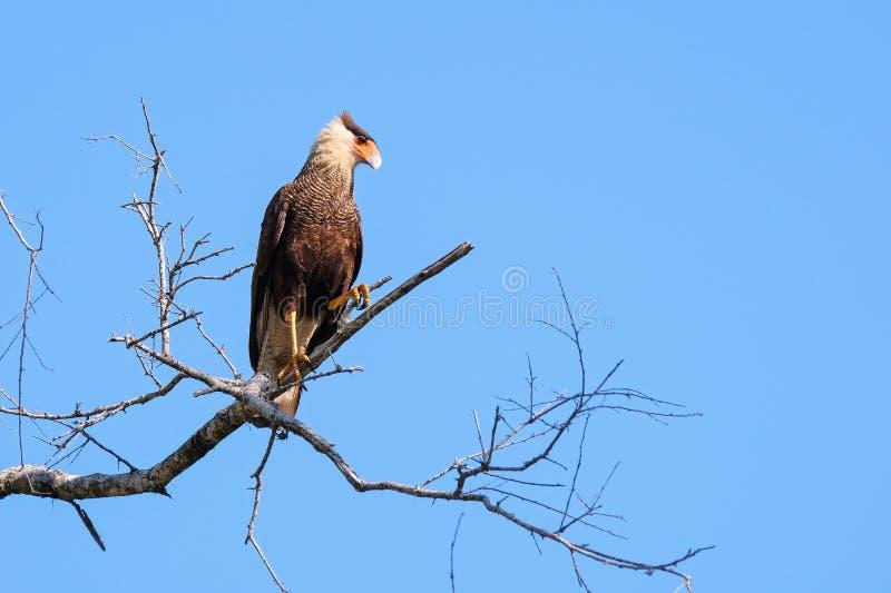 Caracara du sud, Caracara Plancus, étant perché sur une branche dans la forêt, Mato Grosso, Pantanal, Brésil images stock