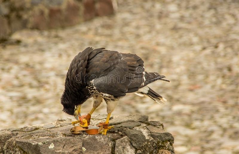 Download Caracara Giovanile Della Montagna, Megalopterus Di Phalcoboenus Al Parco Del Condor In Otavalo Fotografia Stock - Immagine di giovane, condor: 117978980