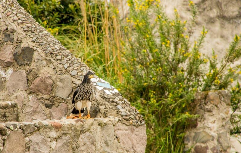 Download Caracara Giovanile Della Montagna, Megalopterus Di Phalcoboenus Al Parco Del Condor In Otavalo Fotografia Stock - Immagine di condor, giovane: 117979216