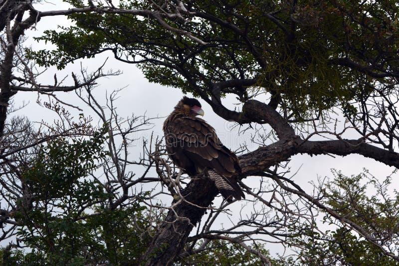 Caracara nel parco di Torres del Pain immagini stock libere da diritti