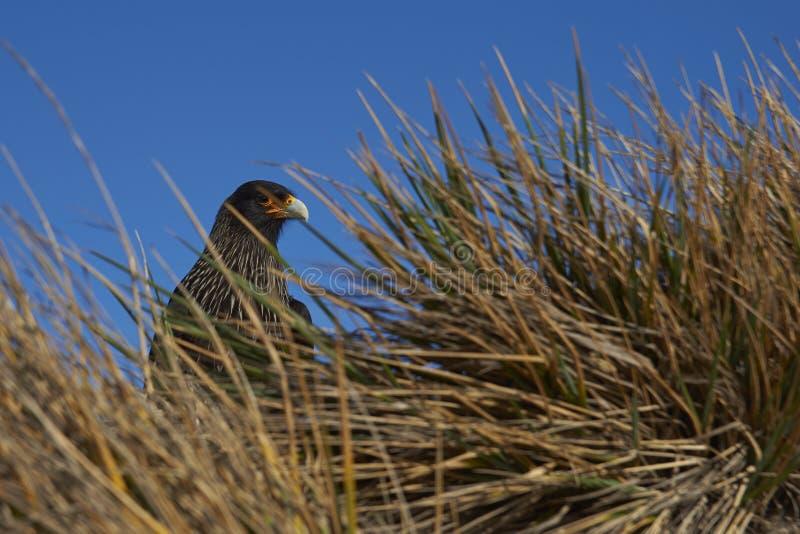 Caracara strié dans l'herbe de touffe photo stock