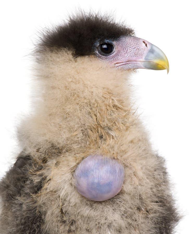Caracaras meridionales, 20 días de viejo, con el huevo fotos de archivo libres de regalías