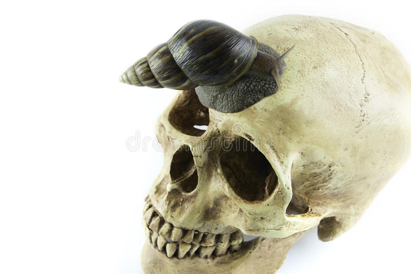 Caracol africano com fundo do branco do skullon fotos de stock royalty free