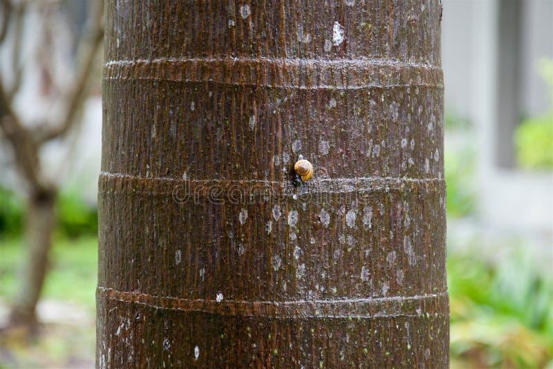 Caracol amarillo en la corteza marrón texturizada de una palmera fotos de archivo
