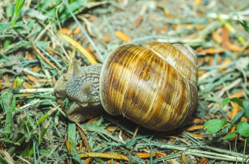 Caracol comum no shell que rasteja sobre a grama verde após a chuva, fim do jardim acima do foco seletivo imagens de stock royalty free