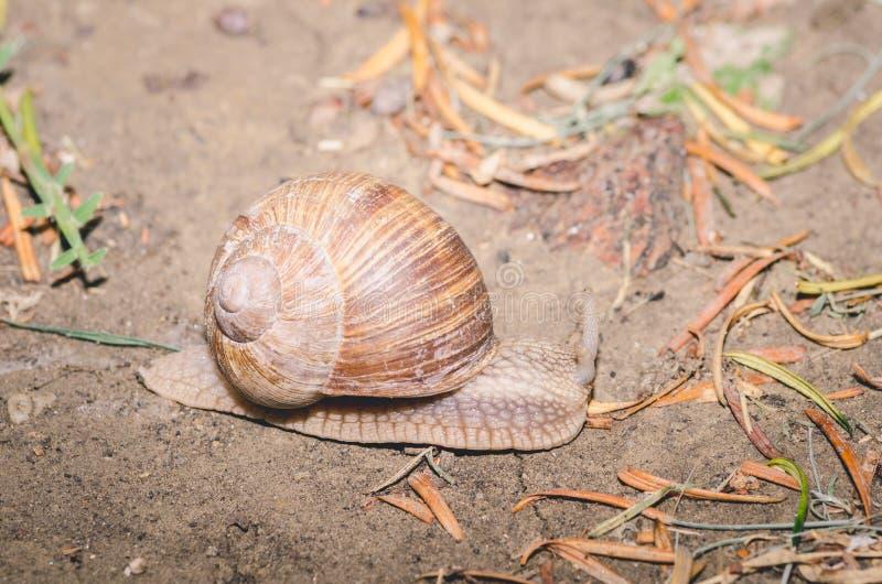Caracol de jardín común con la cáscara que se arrastra sobre la arena de la playa por la tarde, cierre encima del foco selectivo fotos de archivo libres de regalías