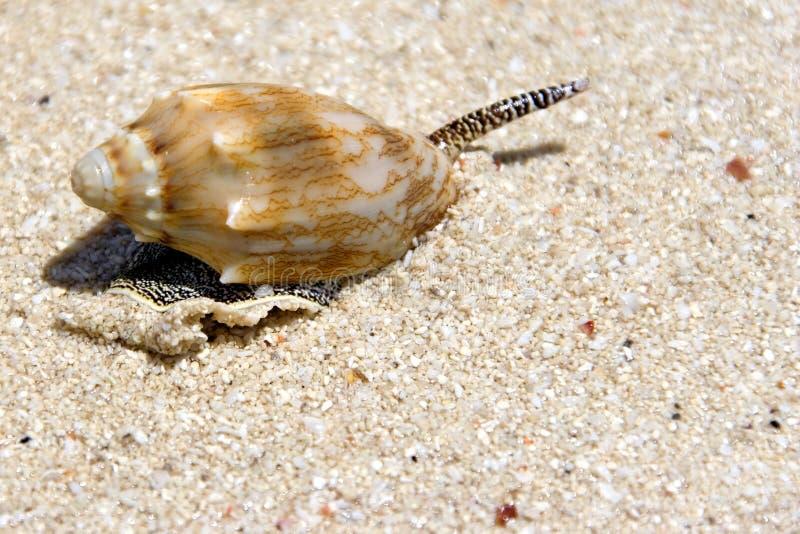 Caracol de mar en la playa imagenes de archivo