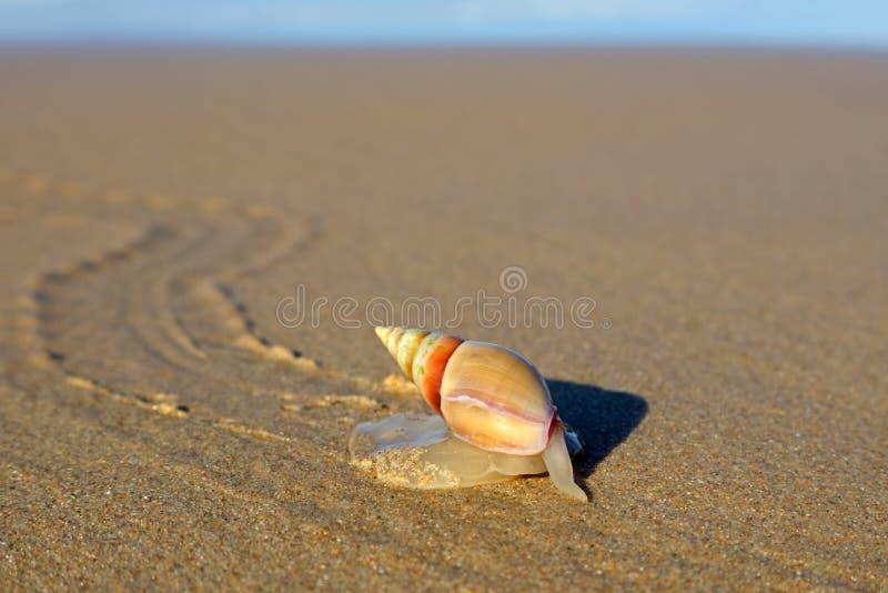 Caracol del arado en la playa imagen de archivo