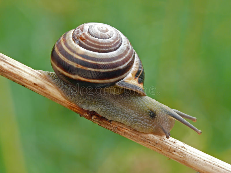 Caracol do bosque imagem de stock
