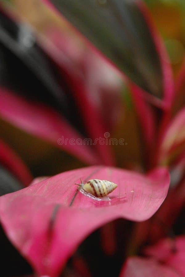 Caracol en hoja rosada foto de archivo libre de regalías