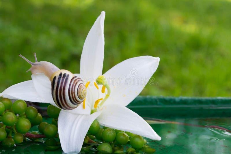Caracol na flor imagens de stock