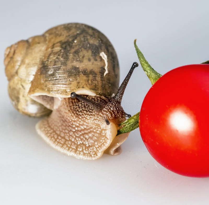 Caracol nos tomates de cereja 01 fotografia de stock royalty free
