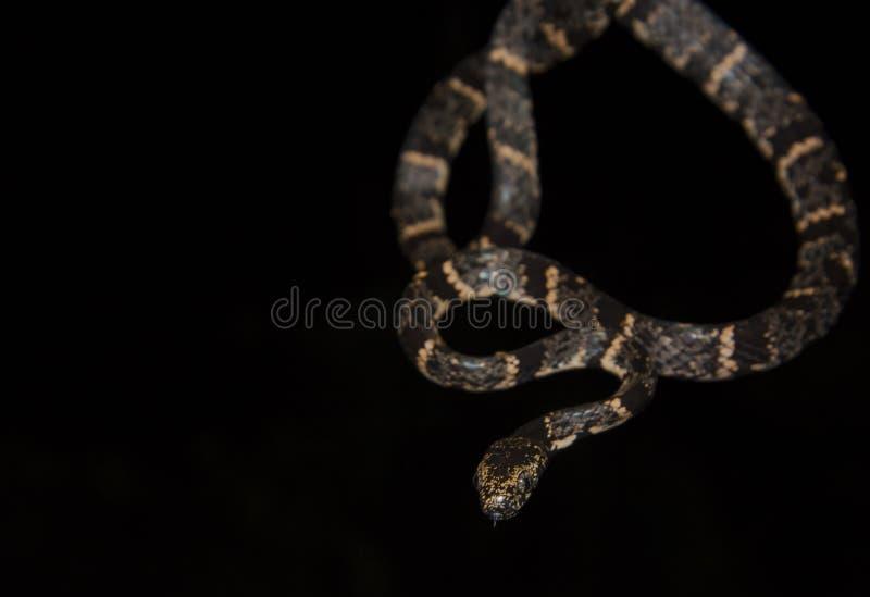 Caracol nublado que come la serpiente en fondo negro imagenes de archivo