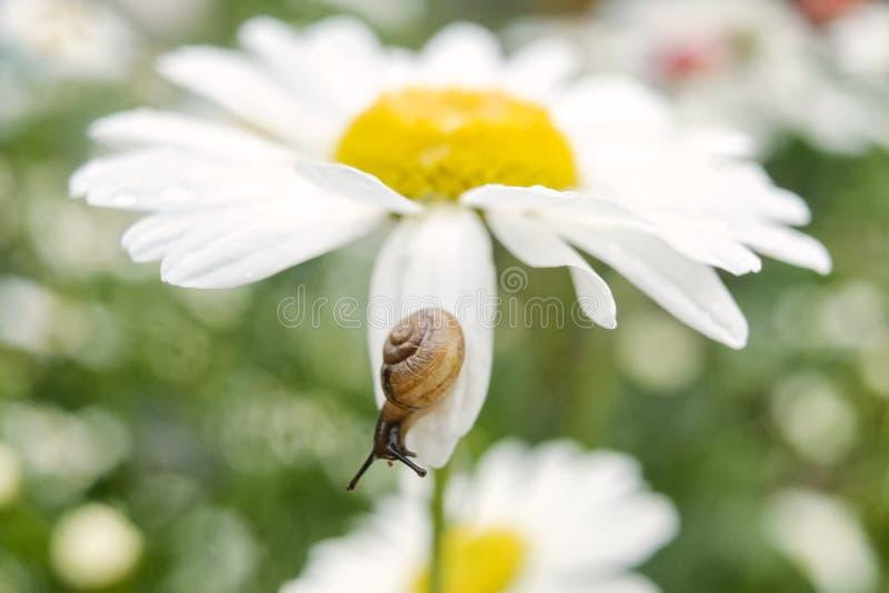 Caracol pequeno em uma flor da camomila no dia de verão fotografia de stock