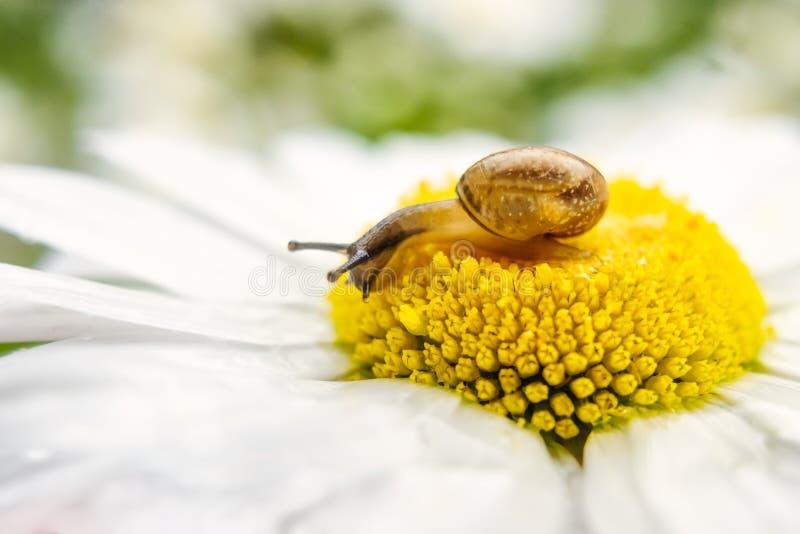 Caracol pequeno em uma flor da camomila no dia de verão fotos de stock royalty free