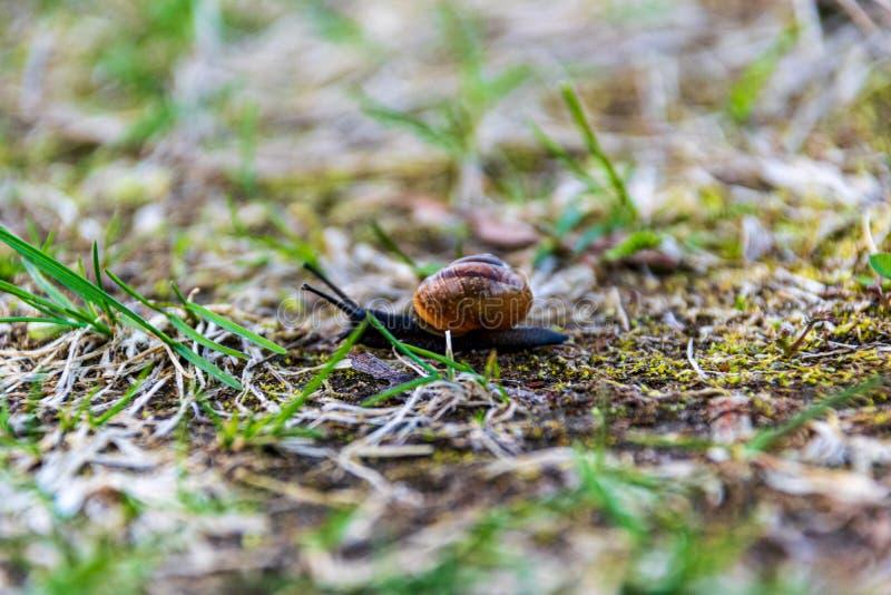 caracol que alimenta en la primera hierba en la tierra en primavera imagen de archivo