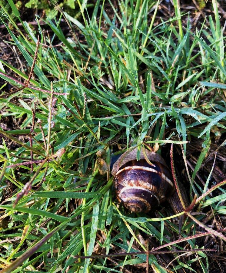 Caracol que rasteja na grama fresca verde molhada após a chuva pesada em um dia de mola brilhante imagem de stock
