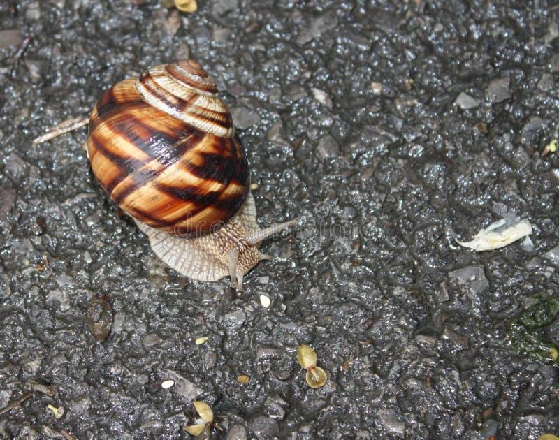 Caracol que se arrastra en el asfalto fotografía de archivo