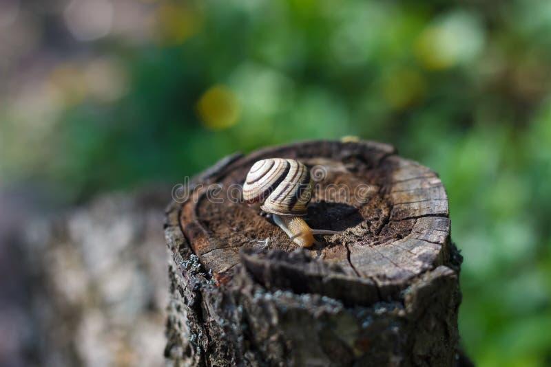 Caracol que se arrastra en un árbol o una corteza fotos de archivo