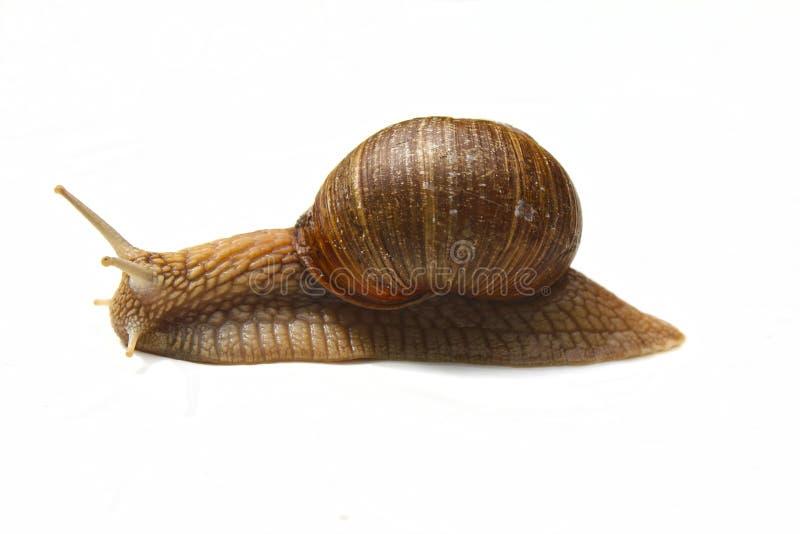 Caracol saboroso Escargot de Bourgogne, Roman Snail Caracol no branco imagem de stock royalty free