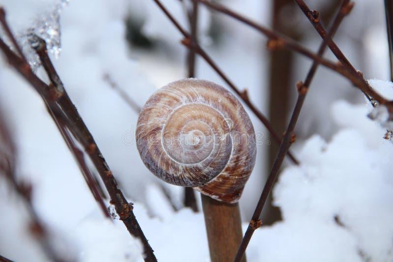 Caracol Shell en rama de árbol de Brown imagen de archivo