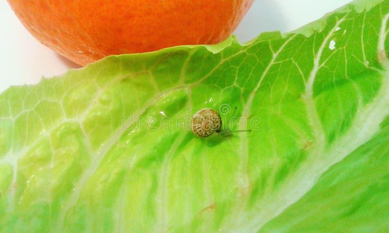 Caracol solo en un mundo de la verdura y de la fruta que camina lentamente sin la tensión foto de archivo libre de regalías
