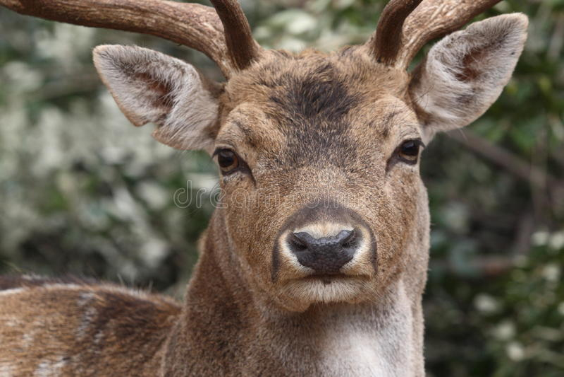 Caracterizado em cervos no selvagem fotos de stock
