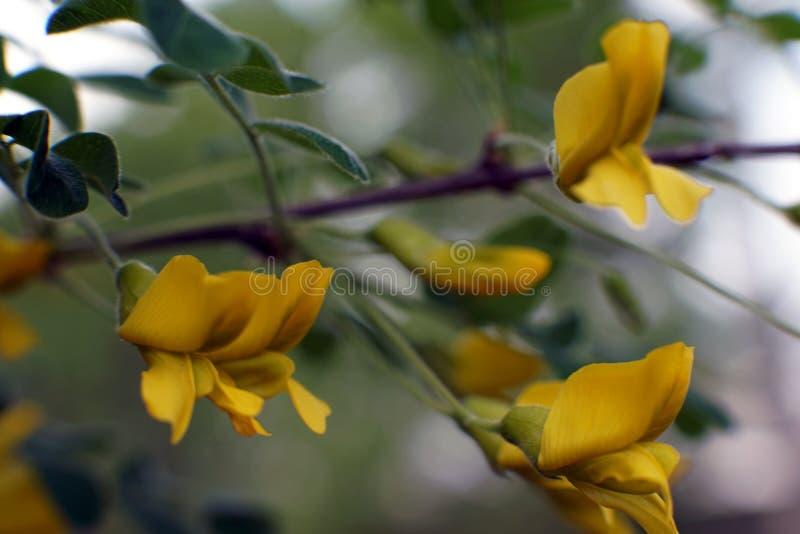 Caragana arborescens, gele marcofotografie van acaciabloemen stock fotografie
