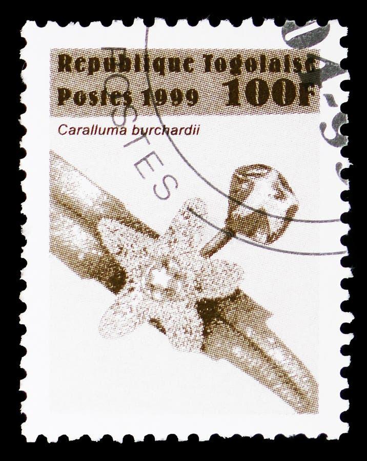Caralluma burchardii, blommaserie, circa 1999 royaltyfri fotografi