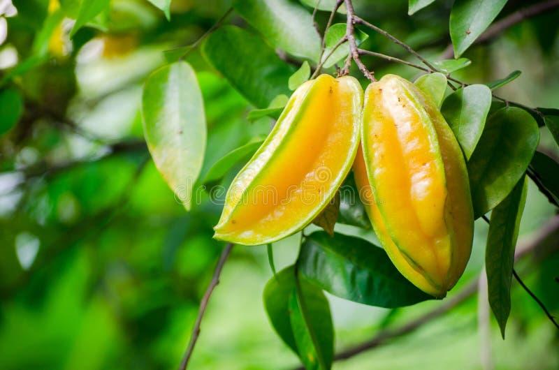 Carambola amarelo maduro do Averrhoa da maçã de estrela do fruto em seu ramo em um jardim imagem de stock royalty free