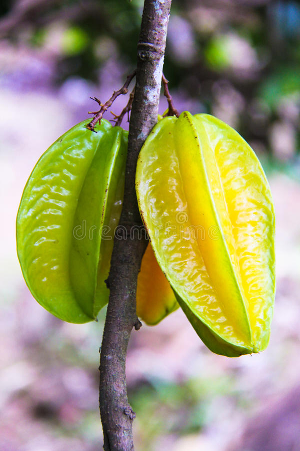 Carambolafrukt- eller stjärnaappple på tropiskt träd på fotografering för bildbyråer