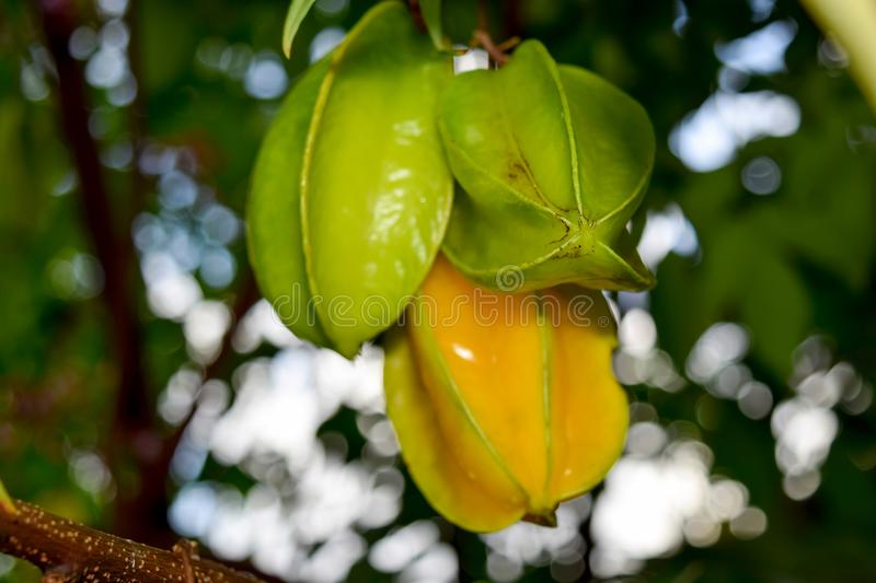 Carambolas Hanging on the Tree stock photography