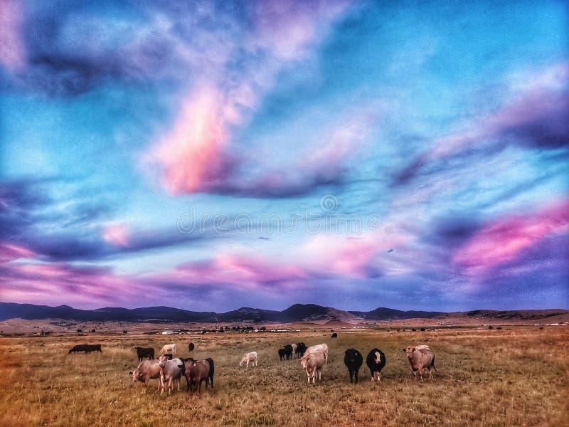 Caramelo y vacas de algodón en pasto en Montana foto de archivo